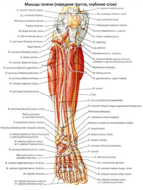 A láb felépítése