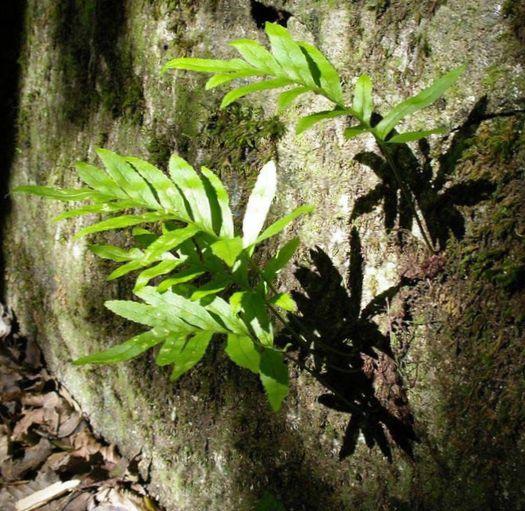 Trópusi szobapáfrányok