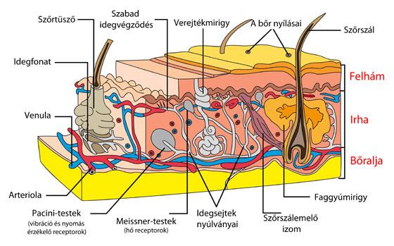 A kötőszövet is megbetegszik | TermészetGyógyász Magazin