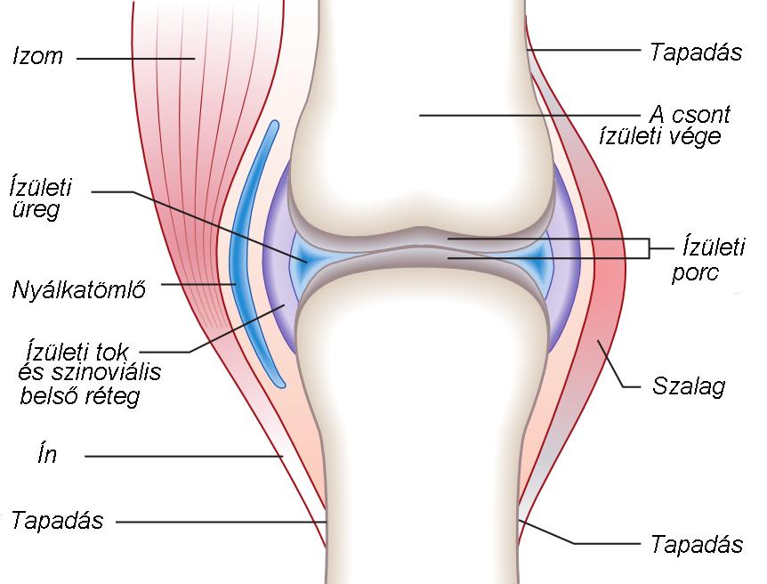az ízület összes szövetének gyulladása latinul fájdalom a csípőízület idege mentén