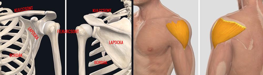 krónikus károsodás a vállízület kötőelemeiben ízületek fájdalom után